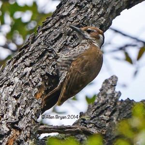 arizonawoodpecker2014b