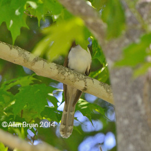 blackbilledcuckoo2014highland