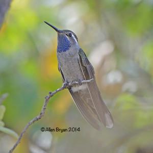 bluethroatedhummerariz2014c