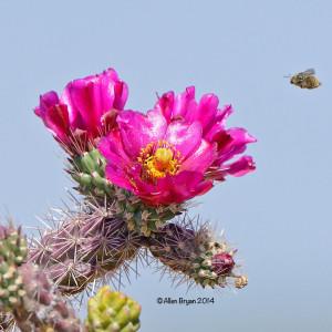 cactusblossomariz2014a