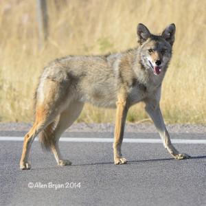 coyoteariz2014b