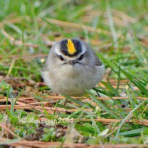 goldencrownedkinglet2014ccc1