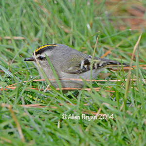 goldencrownedkinglet2014ccc2