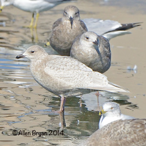 icelandgull2014colonialhts1