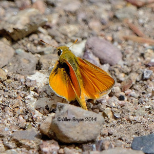orangeskipperling2014arizA