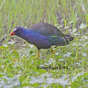 purplegallinule2014waynesboro3
