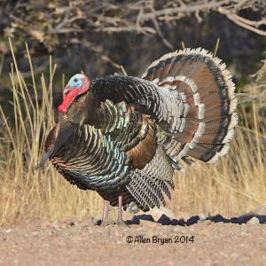 turkey2014arizA