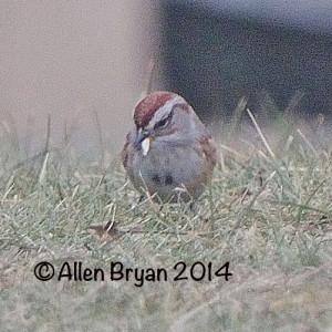 americantreesparrow140112a