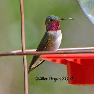 broadtailedhummingbird2014arizA