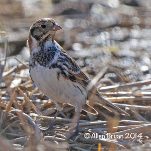 laplandlongspur140118a