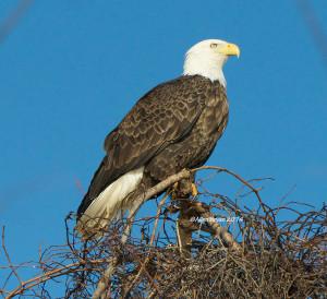 Bald Eagle in Westmoreland County, Virginia on December 14, 2014