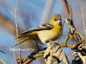 Baltimore Oriole in Hopewell, Virginia on November 28, 2014