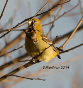 Baltimore Oriole in Hopewell, Virginia on December 27, 2014