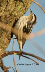 Black & White Warbler in Hopewell, Virginia on December 27, 2014