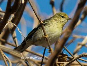 Blackpoll Warbler in Hopewell, Virginia on November 28, 2014