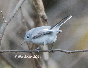 Blue-gray Gnatcatcher in Hopewell 12/6/14