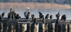 """Some of the eleven (11) Brown Pelicans still """"upriver"""" at Tappahannock, Virginia on December 14, 2014"""