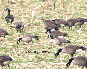 Cackling Geese in Prince George County, Va. on December 21, 2014