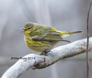 Cape May Warbler in Hopewell, Va. on December 21, 2014