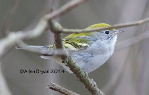 Chestnut-sided Warbler continuing in Hopewell, Virginia on December 29, 2014