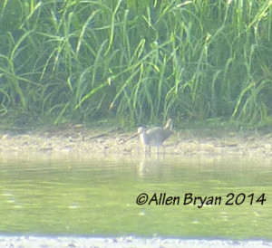 Possible/Probable Clapper Rail in Charles City County
