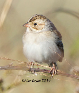 Clay-colored Sparrow, Charles City County on 11/8/14