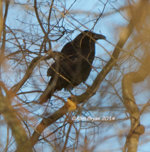 Common Raven in Hopewell on 12/7/14