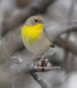 Common Yellowthroat in Charles City County, Virginia on December 28, 2014