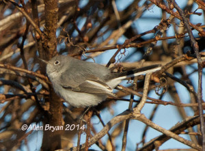 B-g Gnatcatcher in City of Hopewell.