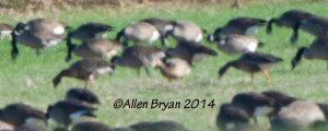 Three distant Greater White-fronted Geese in Henrico County