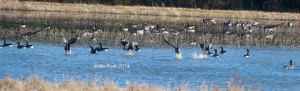Greater White-fronted Geese in Prince George County 12/7/14