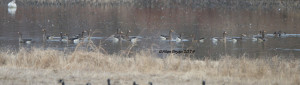 Seventeen Greater White-fronted Geese in Prince George County, Va. on December 21, 2014