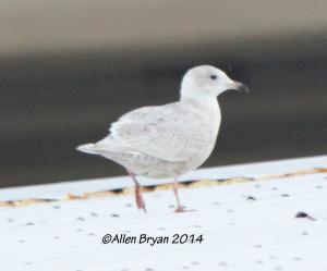 Iceland Gull- City of Hopewell, Virginia