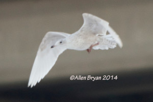 Iceland Gull at City of Hopewell, Virginia