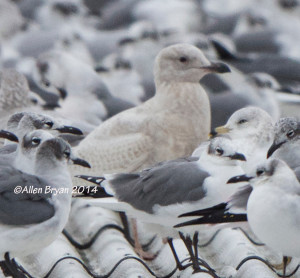 Iceland Gull in Hopewell on 12/6/14