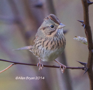 Lincoln's Sparrow, Rockingham County