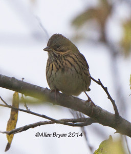 Lincoln's Sparrow in Charles City County