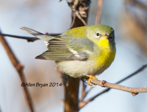 Northern Parula in Prince George County