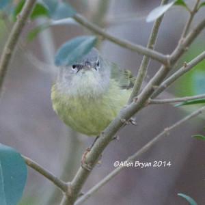 Orange-crowned Warbler in Hopewell on 12/7/14