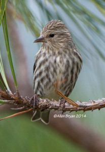 One of approximately 60 Pine Siskins in Prince George County, Va. on December 21, 2014