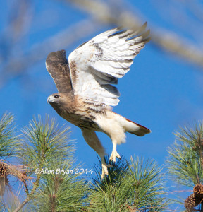 Red-tailed Hawk (possible Canadian) from my yard in western Henrico County, Virginia on December 14, 2014
