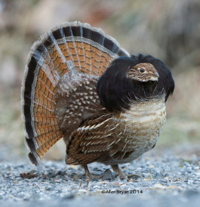 Ruffed Grouse in Highland County, Virginia on December 26, 2014