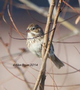 Vesper Sparrow in Charles City County, Virginia on December 13, 2014