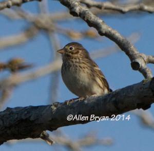 vespersparrow141213b