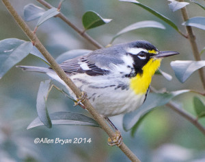 Yellow-throated Warbler in Hopewell on 12/7/14