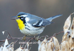 Yellow-throated Warbler in Hopewell, Virginia on November 28, 2014