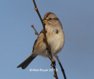 American Tree Sparrow in Highland County, Virginia on January 11, 2015