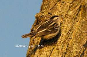 Black & White Warbler in Hopewell, Virginia on January 1, 2015