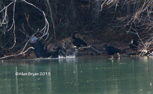 "Black Vultures taking their turn ""bathing"" in Colonial Heights, Virginia on January 2, 2015"