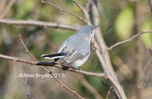 Blue-gray Gnatcatcher in Hopewell, Va. on January 1, 2015.